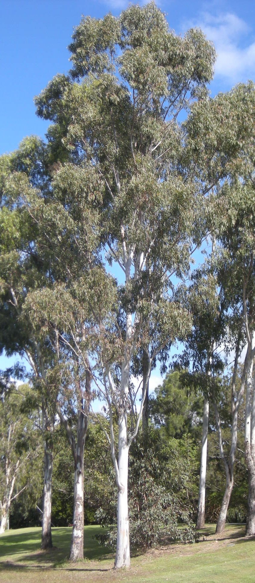 Forest Red Gum
