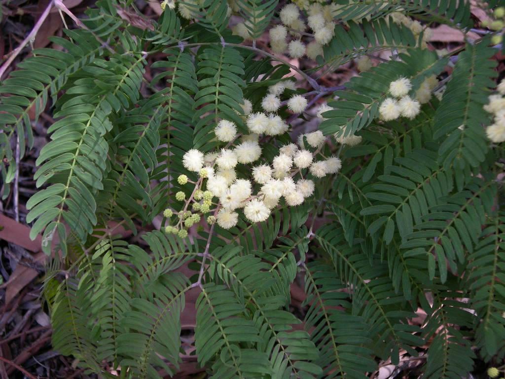 Green Cedar Wattle
