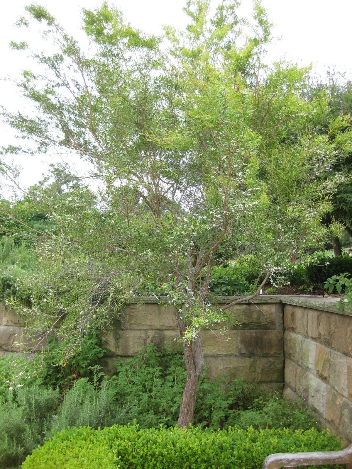 Lemon-scented Tea Tree