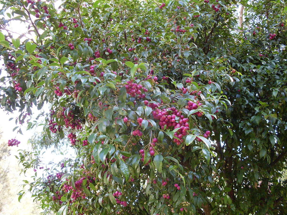 Magenta Lilly Pilly