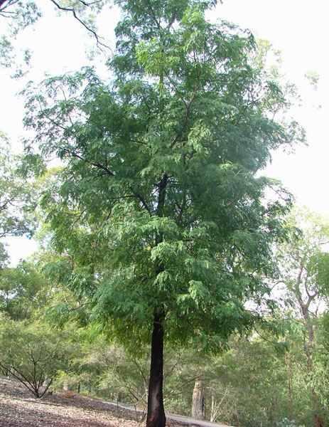 Mountain Cedar Wattle