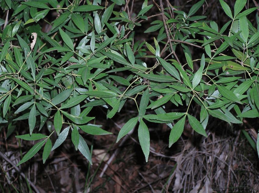 NSW Christmas Bush