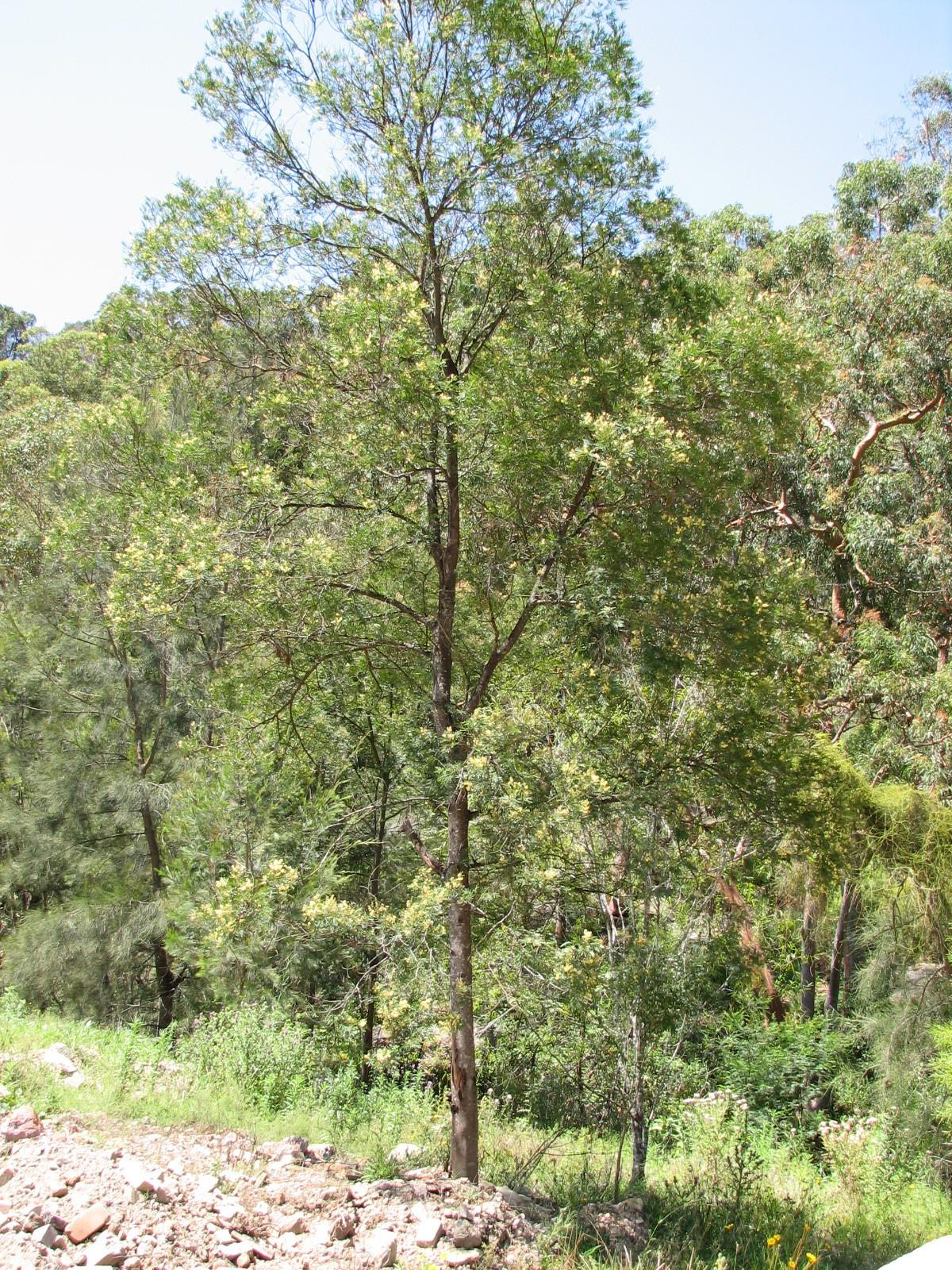 Parramatta Green Wattle