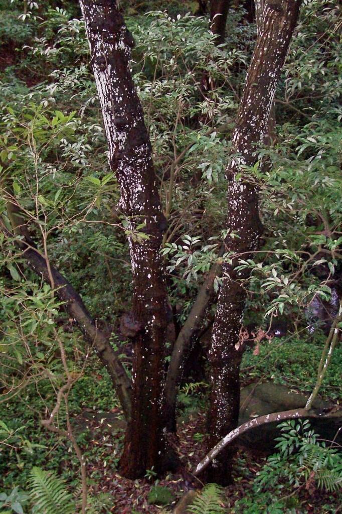 Scentless Rosewood