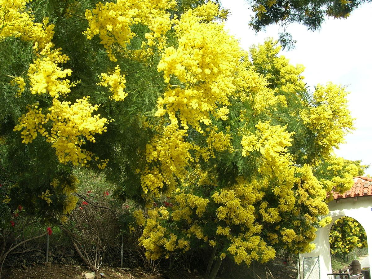 Sydney Green Wattle