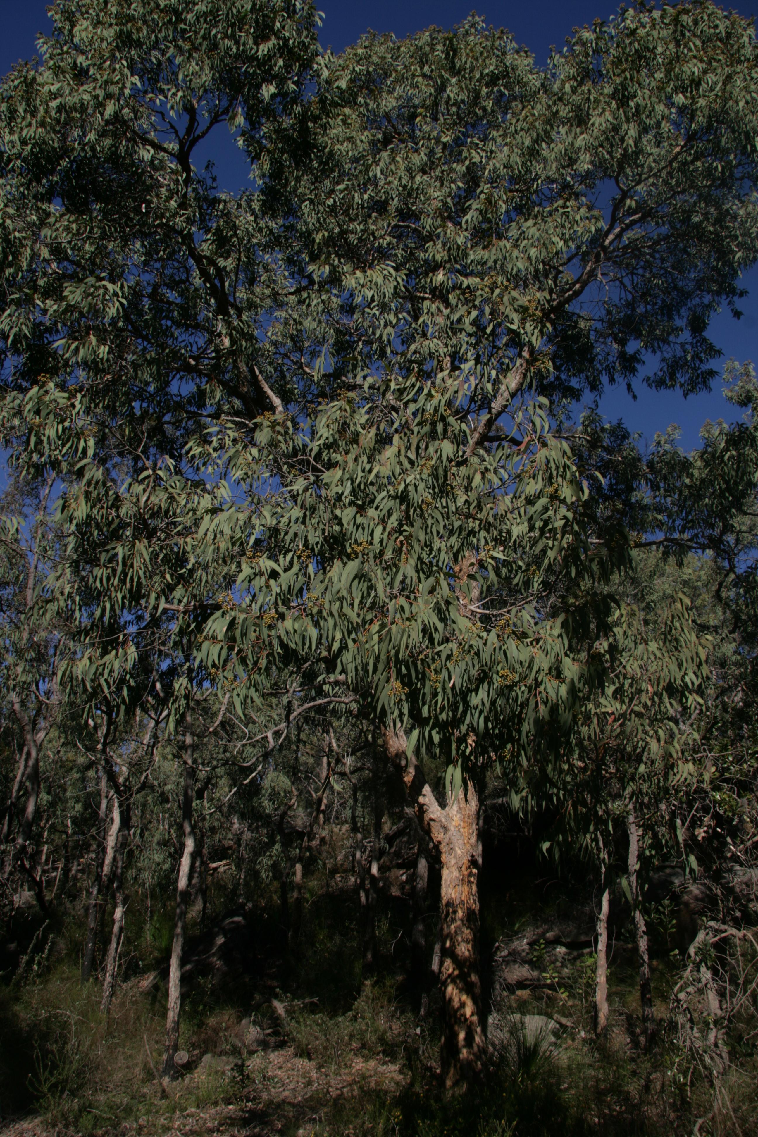 Yellow Bloodwood