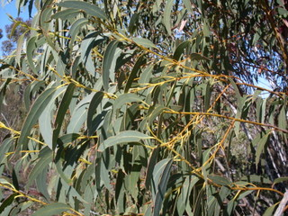 Yellow Top Mallee Ash